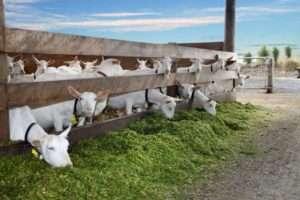 Козяча ферма – як правильно закупити молодняк