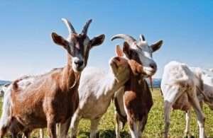 Годування та догляд за козами на фермі