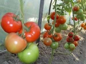 Кращі сорти помідор в Україні для дачі на 2019 рік з фото та описом