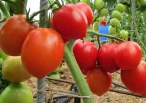 Столипін - найсмачніший томат за відгуками городників