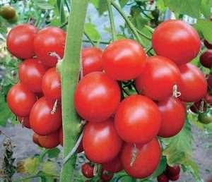 На фото помідори сорту Верлиока