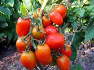На фото високоврожайний томат Акварель