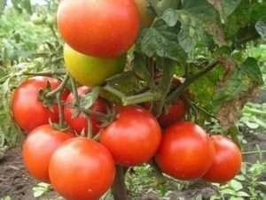 Джина популярний низькорослий сорт з великими помідорами