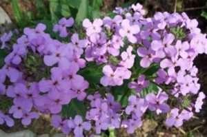 Матіола Дворога - квітуча все літо