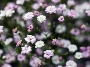 Ніжні квіточки Гіпсофіли радують око все літо