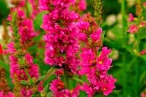Деребенник дуже невибаглива квітка для дачі
