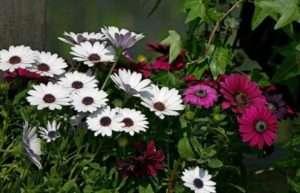 Діморфотека - квітка, квітуча все літо до самих морозів