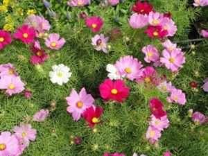 Космея - найпопулярніша квітка для дачі