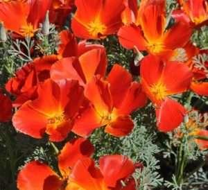 Ешшольція Каліфорнійська цвіте все літо до жовтня