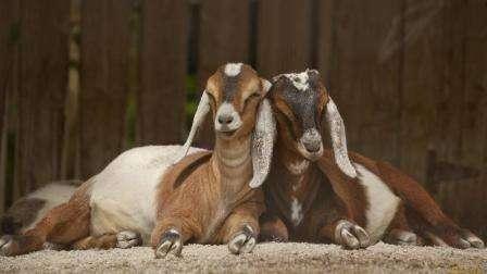Молочні кози без запаху - найпопулярніші породи