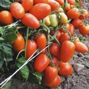 Низькорослі помідори для відкритого грунту Новачок