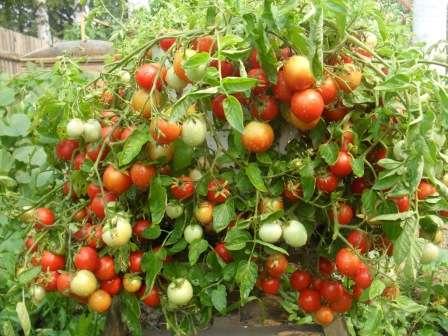 Як вибрати врожайні і низькорослі сорти помідорів для відкритого грунту з фото та описом