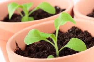 Вирощування петунії з насіння в домашніх умовах