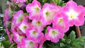 Цвітіння петунії при своєчасній посадці і правильному догляді