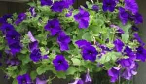 Як виростити розсаду петунії за місячним календарем