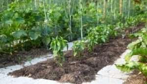 Як і чим підживити розсаду помідорів і перцю