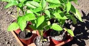 Підживлення розсади помідорів і перцю народними засобами