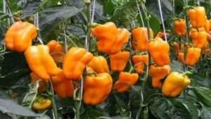 Значення добрив для підживлення розсади перцю та помідорів