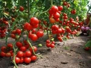 Натуральне добриво - деревна зола для підживлення перцю та помідорів
