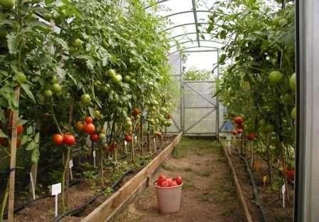 Підживлення розсади помідорів та перцю народними засобами: добрива, рецепти, способи та треміни