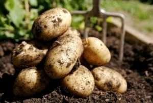 Венета - ще одна рання картопля, яка була отримана німецьким селекціонером