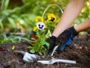 Догляд за багаторічними квітами та деревами в саду
