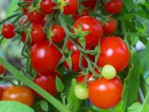 Кращі низькорослі сорти томатів для вирощування у відкритому грунті
