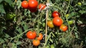 Дачник - невибагливий томат фото.
