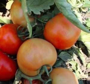 Сорт томату Бобкат
