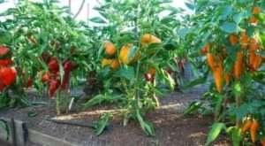 Технологія і агротехніка вирощування перцю (перців) у відкритому грунті на городі та теплиці