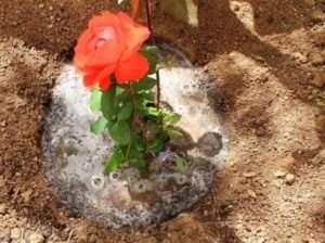 На торф встановіть саджанець, розправте коріння, засипте торфом. Простір біля стовбура злегка ущільнюється. Знову поливається