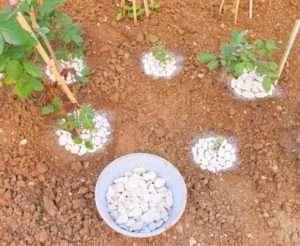 Навколо стовбура обережно викладіть на розрівняний ґрунт білі дрібні камінчики