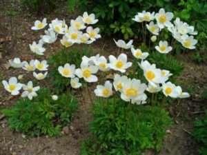 Анемона ніжна - це дуже красива квітка, що має висоту стебла всього-на-всього 6-10 см з рожевими, білими квітконосами
