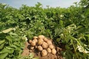 Характеристика ранніх сортів картоплі