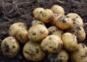 Ультраранні сорти картоплі для самостійного вирощування