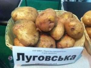 Середньоранні сорти картоплі