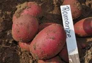 Опис найпопулярніших ранніх сортів картоплі