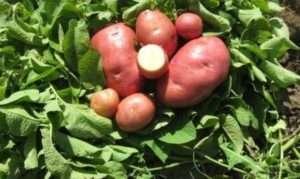 Досягнення зарубіжних селекціонерів у вирощуванні картоплі