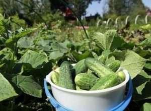 Вирощування огірків з насіння на городі та в теплиці