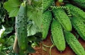 сорти огірків для вирощування на горді