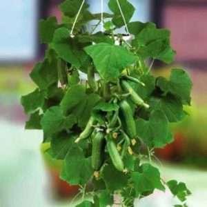 «Махаон F1» сорт огірків для вирощування на городі