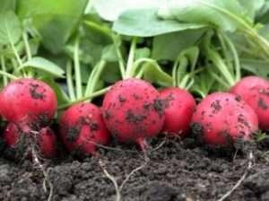 Найкращі сорти редиски для відкритого ґрунту