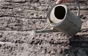 Борозенки присипають подрібненою землею шаром 0,7-1 см і обережно поливають