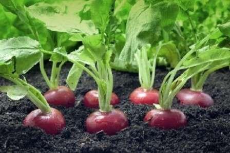 Найкращі сорти редиски для самостійного вирощування на городі