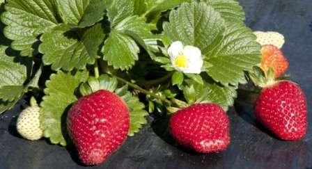 Найкращі сорти ремонтантної полуниці садової (фото): особливості вирощування та догляд