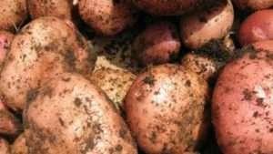 Популярні нові сорти картоплі