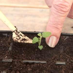 Коли сформуються 2 повноцінних листочка, пересадіть саджанці в горщики діаметром 9 см