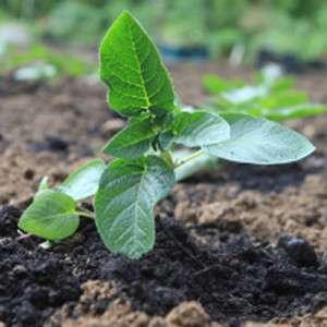 Щоб коренева система не висихала, прикривайте землю біля саджанців торфом