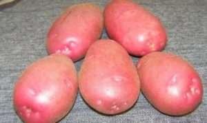 «Беллароза» - нові сорти картоплі