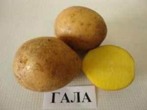 Картопля сорту «Гала»